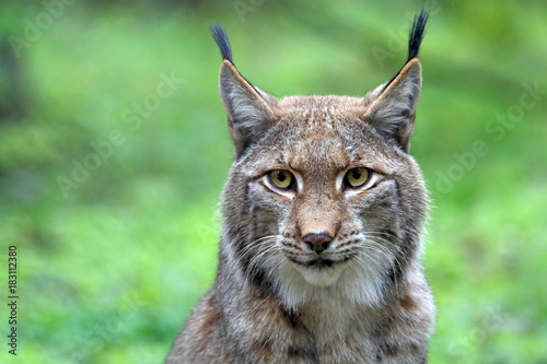 Canvas Prints Lynx Lynx