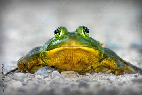 Fotografia  Frog