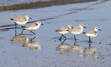 Flock OF Sanderlings Running Through Beach