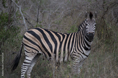 Photo Stands Zebra zébre