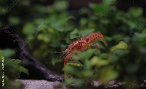 mały pomarańczowy rak w akwarium