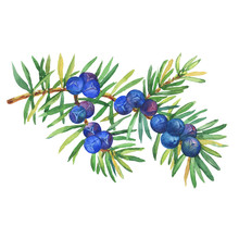 Branch Of Juniper Plant (Junip...