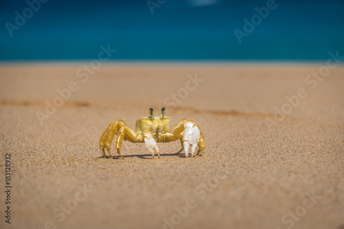 Yellow Crab (Johngarthia lagostoma or Gecarcinus lagostoma) at Praia do Sancho Beach - Fernando de Noronha, Pernambuco, Brazil