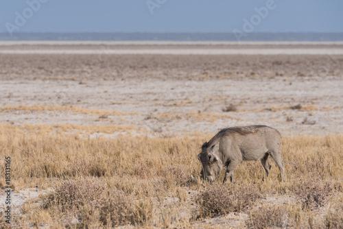 Photo  Warthog grazing along Etosha Pan
