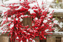 A Holiday Wreath Of Red Berrie...