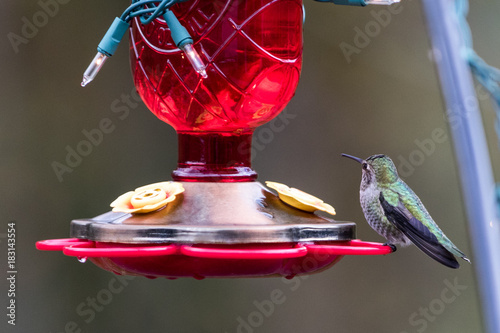 Photo  hummingbird christmas