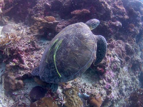Poster Tortue Turtles in Moalboal, Cebu, Philippines