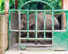 Elephant In Zoo Enclosure