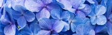 Hortênsia Azul.