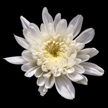 White Chrysanthemum Flower Iso...