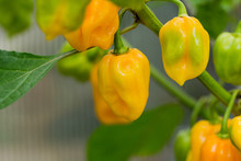 Hot Habanero Peppers  And Plant