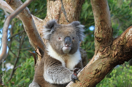 Staande foto Koala closeup of koala sitting on tree