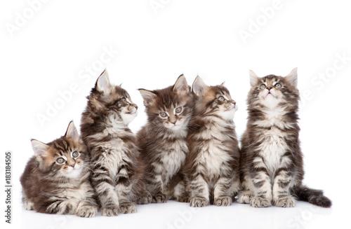 duza-grupa-malych-kotow-maine-coon-patrzac-w-gore-odizolowywajacy-na-bialym-tle