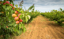 A Branch With Apricots. Apricot Orchard And Dirt Path. Agricultural Field
