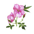 Wild rose branch with buds and leaves isolated on white background. Hand drawn watercolor illustration.
