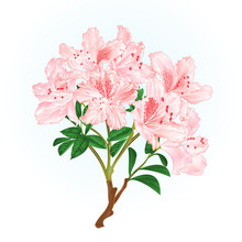 Light Pink Rhododendron Branch...