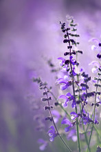 Landscape With Beautiful Delicate Purple Flowers On The Summer Meadow