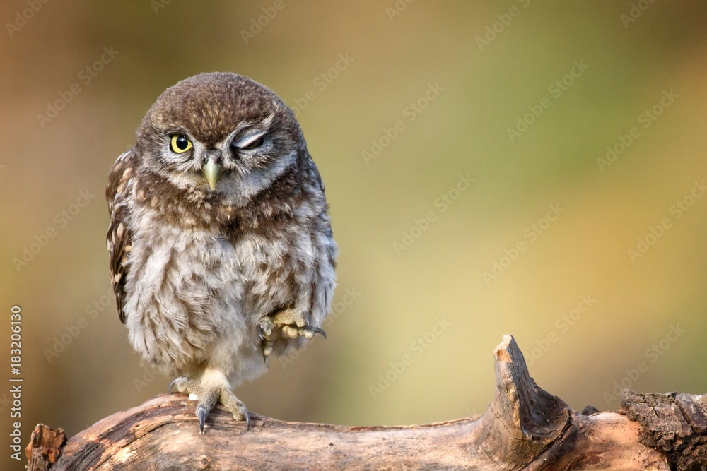 Fototapety, obrazy: little owl (Athene noctua) is on the stone on a beautiful background