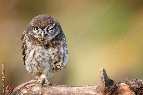 In de dag Uil little owl (Athene noctua) is on the stone on a beautiful background