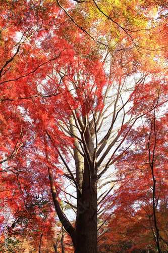 Papiers peints Orange eclat 鎌倉 獅子舞の紅葉