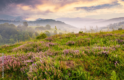 Fotografía  grassy hills with field of flavoring thyme at foggy sunrise