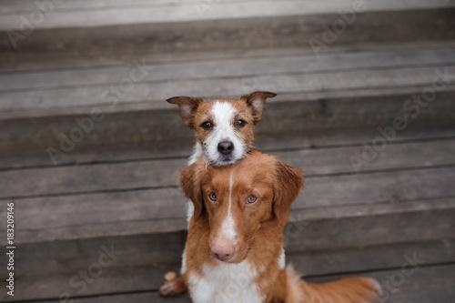 Fototapeta Dog Nova Scotia duck tolling Retriever and Jack Russell Terrier obraz na płótnie
