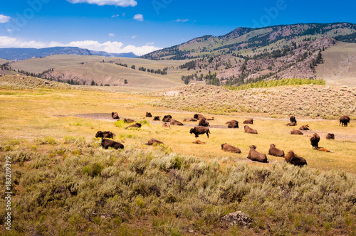 Poster de jardin Bison A herd of bison in the Yellowstone national park