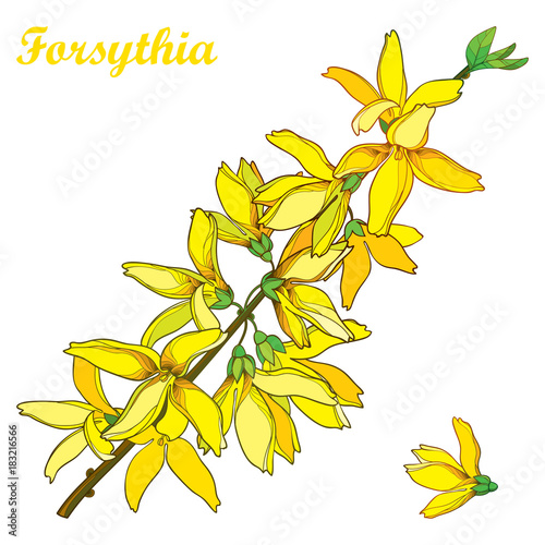 Foto op Canvas Draw Vector branch with outline Forsythia flower bunch and leaves in yellow isolated on white background. Spring blossom of garden plant Forsythia in contour style for springtime design.