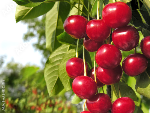 close-up of ripe cherries on a tree in the garden