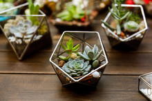 Succulent In The Geometry Glas...