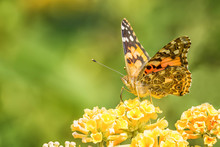 Painted Lady Butterfly On Yellow Flowers