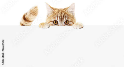 Fotobehang Kat funny pet cat showing a placard isolated on white background blank web banner template and copy space
