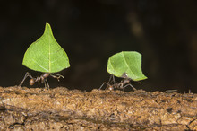 Leafcutter Ants (Atta Colombic...