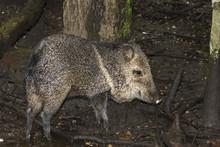 Collared Peccary (Pecari Tajacu) Feeding In Swampy Rainforest, Belize, Central America