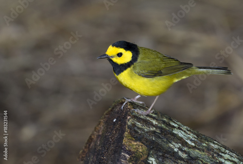 Fotografía  Hooded warbler (Setophaga citrina) during overwintering in the tropics, Belize,