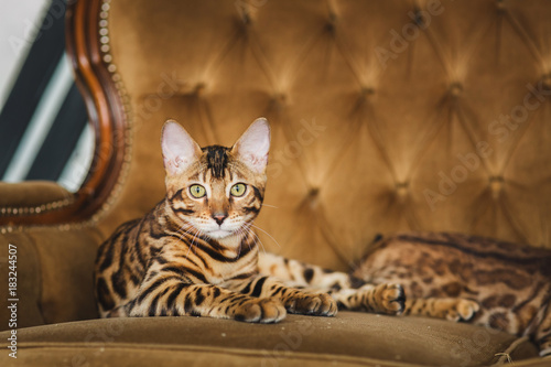Photo Front view at cute bengal cat lying under the sofa looking at camera in studio