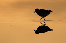 Sandpiper At Sunrise At The Oc...
