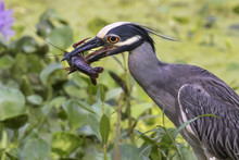 Yellow-crowned Night Heron (Ny...