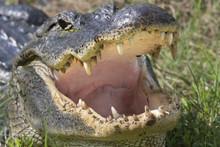 American Alligator (Alligator ...