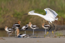 Snowy Egret (Egretta Thula) In Breeding Plumage Flying Over A Group Of American Avocets, Galveston, Texas, USA