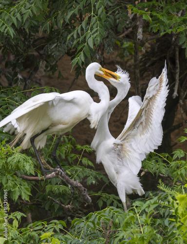 Αφίσα  Great egret (Ardea alba) feeding a young at rookery, High Island, Texas, USA