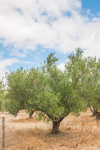 Tuinposter Olijfboom Olive tree. Green olives. Plantation and cloudy sky. Greek Field of olive trees.