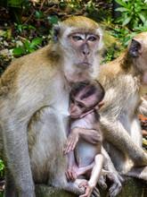 Macaque Monkey Breastfeeding H...