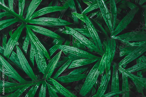 Fotografering  Rain drop on tropical green leaf textures, dark tone nature background