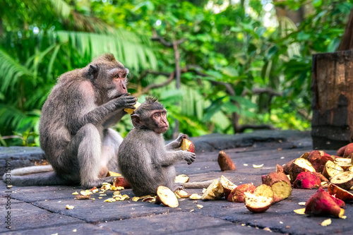 Spoed Foto op Canvas Aap family of monkeys eating fruit in monkey forest in bali. indonesia