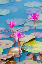 Three Star Lotuses, Nymphaea N...