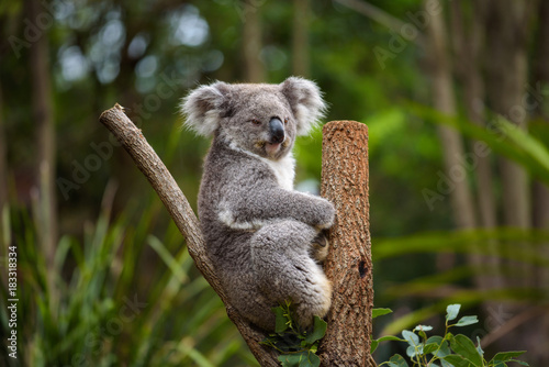 Koala on eucalyptus tree in Australia