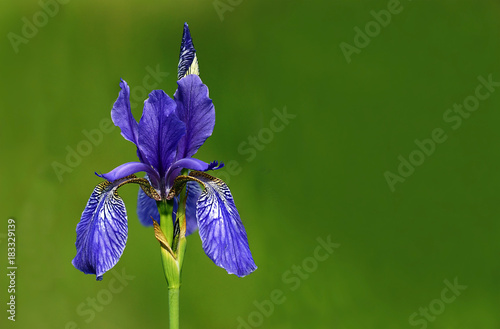 Spoed Foto op Canvas Iris Blooming Siberian iris (Iris sibirica)