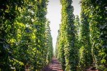 Green Hops Plantation