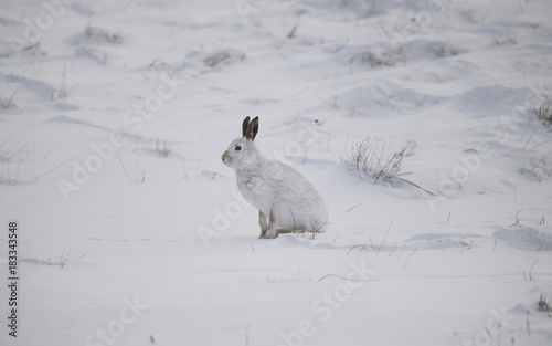Fotomural Mountain hare sitting on a snowy hillside in the Winter